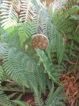 The Tasmanian tree fern