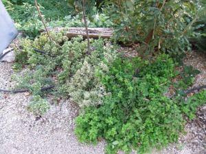 Ground cover of oregano