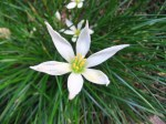 Ipheion sessile growing in the courtyard