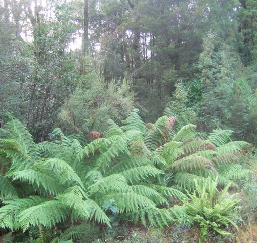 Ferns at home in the wild