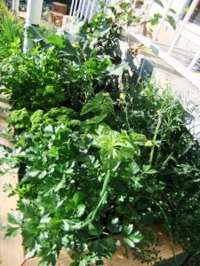 An explosion of fresh herbs