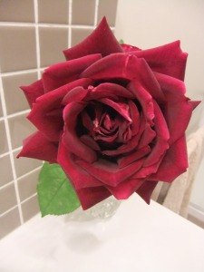 My Mr Lincoln rose