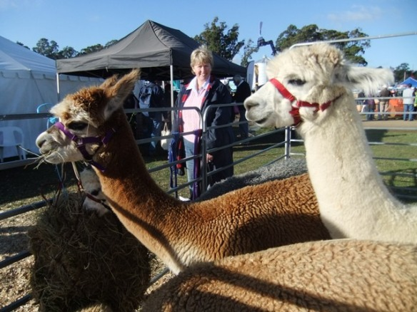 Beautiful alpacas at AgFest