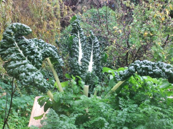 Winter veggies: tasty silverbeet ready for picking
