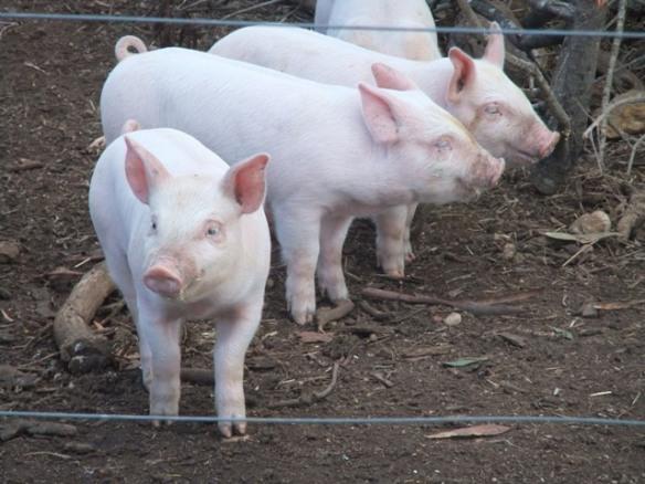 Happy free range piglets at Styx River Farm