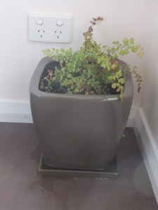 In need of a cuppa: maidenhair fern not going so well