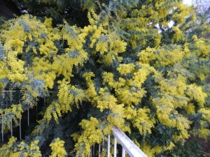 The good news! My wattle in glorious bloom