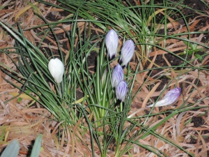 Crocuses poking up their heads