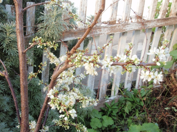 Plum tree in blossom