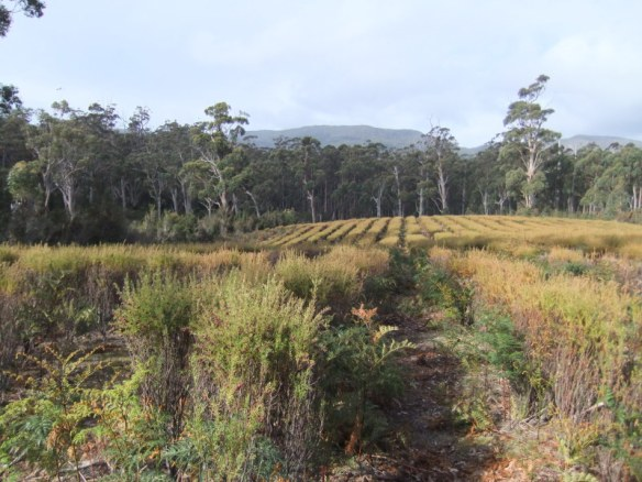 Suprising boronia plantation nestled among the bush