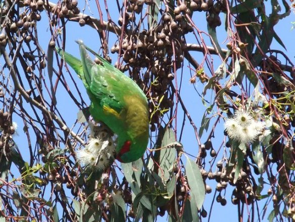 What is it? Parrot or lorikeet feasting on eucalypt flowers outside K&D