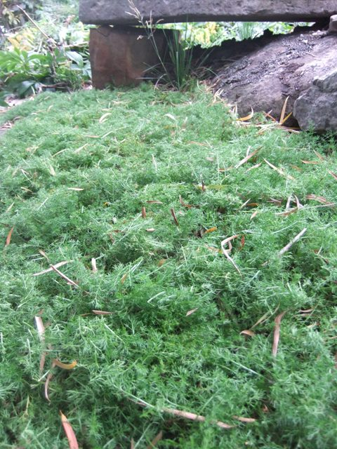 A reward for tired feet: my camomile patch coming on nicely