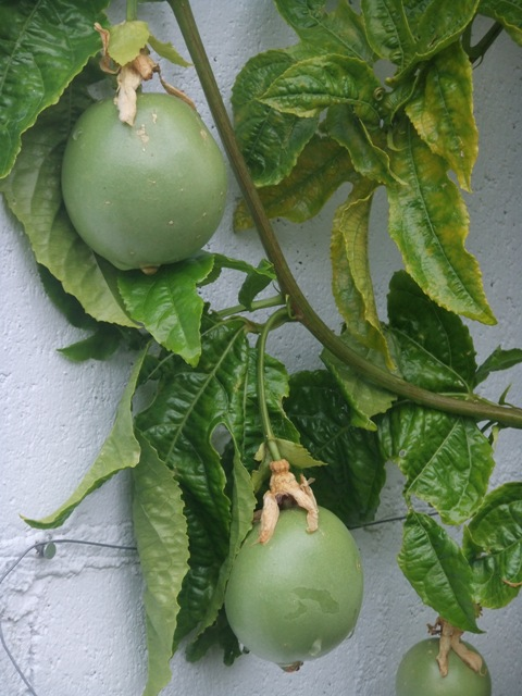 Passion fruit slowly getting there