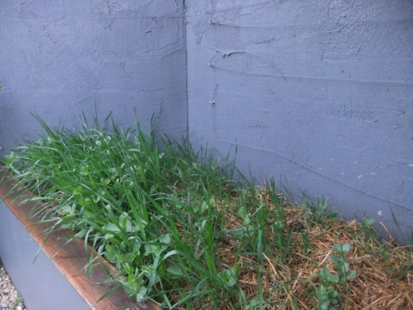 Green manure crops keeping the soil healthy