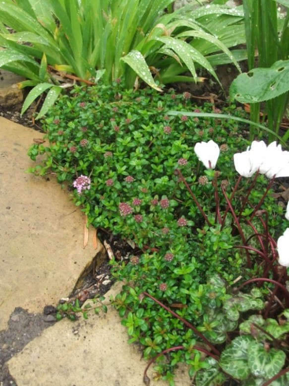 Creeping thyme, a joy for visiting bees