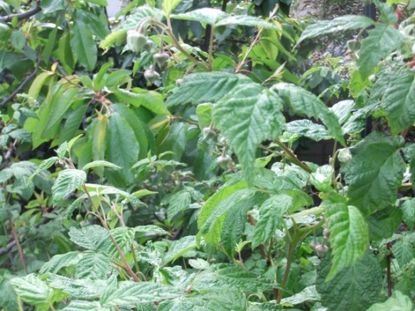 Nearly time to break out the cream! Raspberries coming.