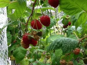 Rasberriesnet