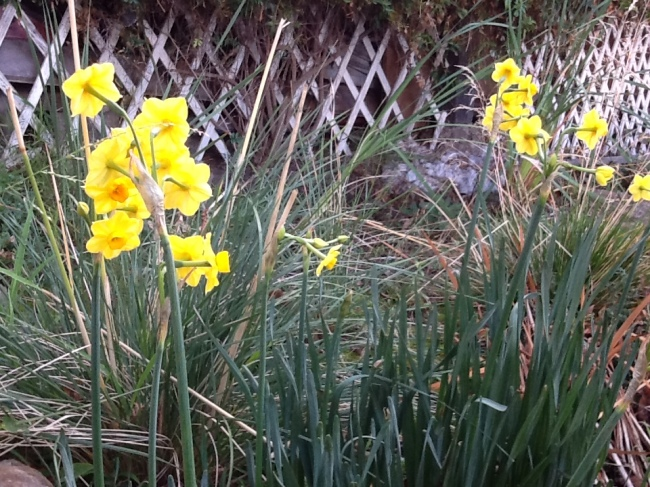 Jonquils in flower