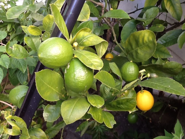 Lemons yellowing - time to feed