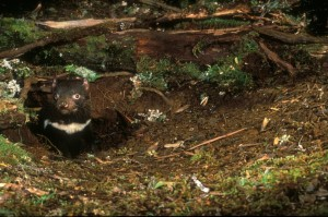Tasmanian Devil, threatened by habitat loss from logging and mining.