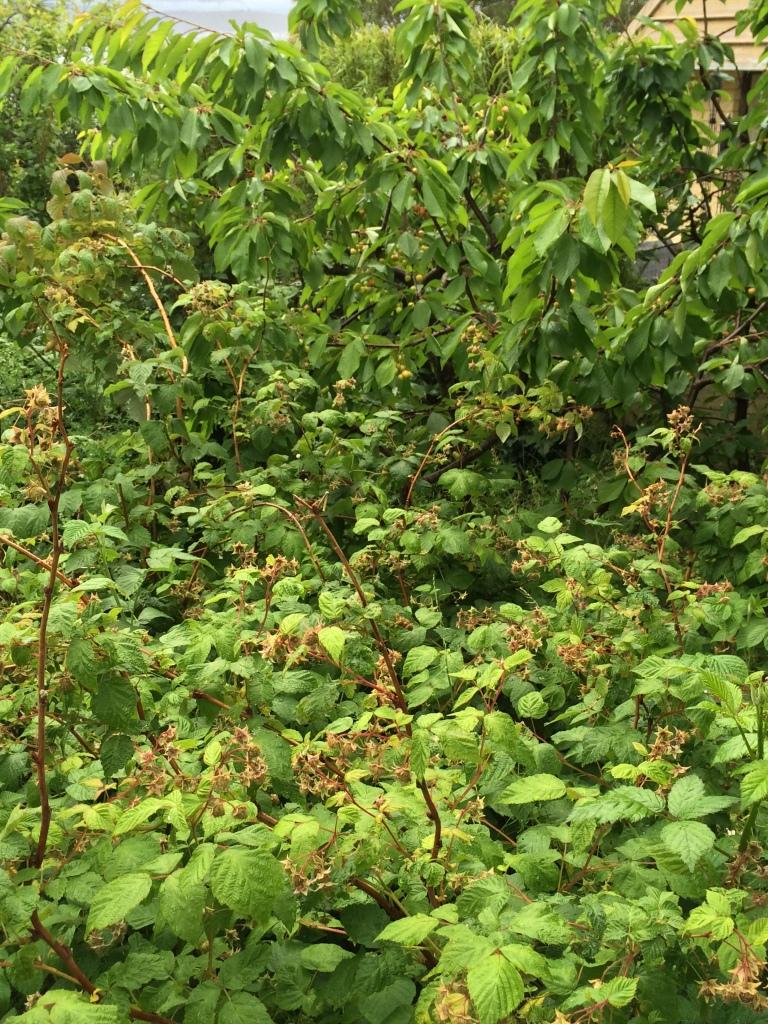 Promise of summer bounty, raspberries and cherries