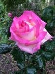 Princess Mary Rose